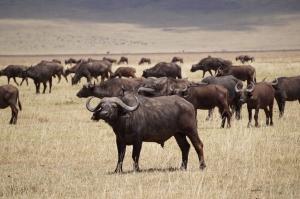 buffalo-ngorongoro