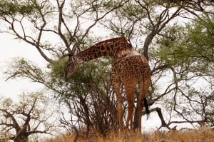 giraffe-tarangire