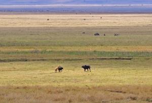 lion-hunt-ngorongoro