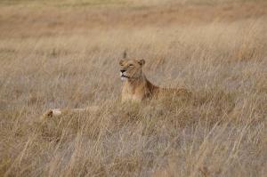 lion-nrogongoro