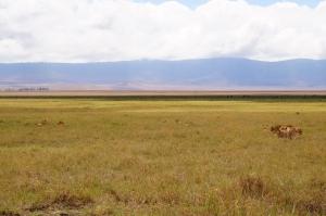 lion-pack-ngorongoro
