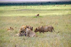 lions-ngorongoro
