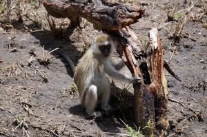 monkey-tarangire