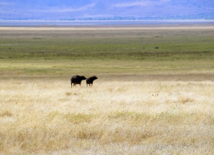 spot-the-lion-ngorongoro