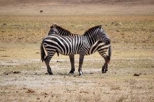 zebra-ngorongoro-02