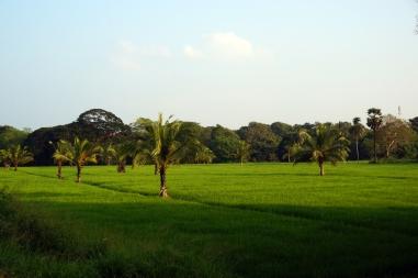 Paddy Fields in Anuradhapura
