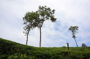 Tea fields on the way up Little Adam's Peak