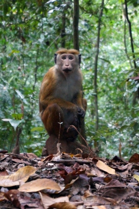 A monkey in Kandy Royal Forest