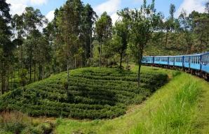 The epic tea fields