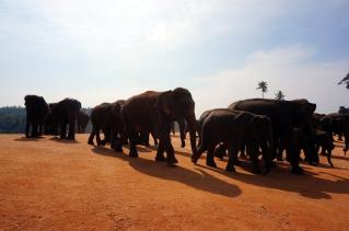 More elephants at Pinnewala
