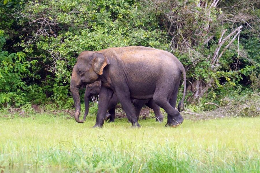 yala-elephants-04