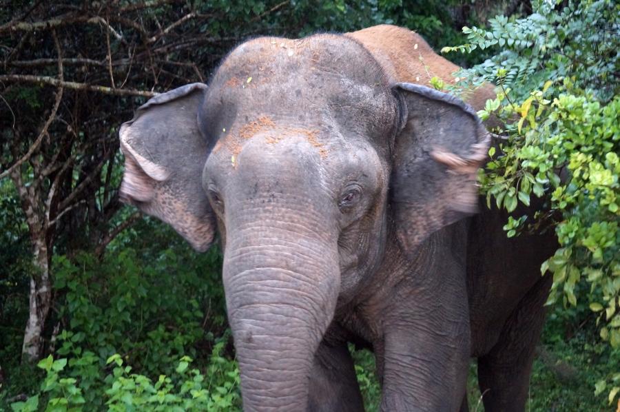 yala-elephants-bull-charge-01