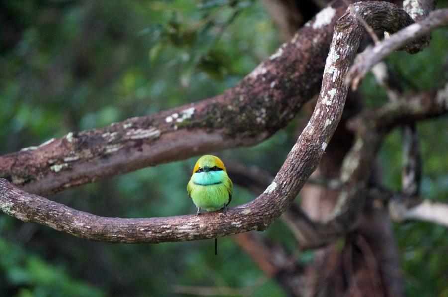 yala-green-bee-eater-01