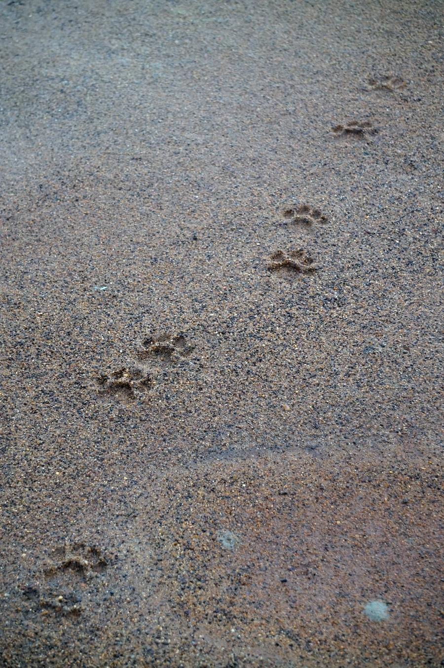 yala-leopard-tracks-01