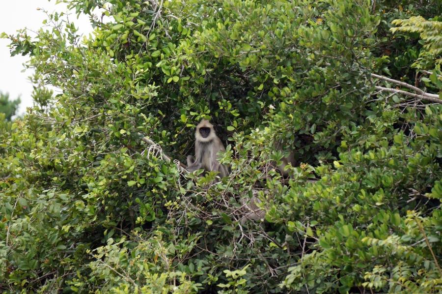 yala-monkey-01