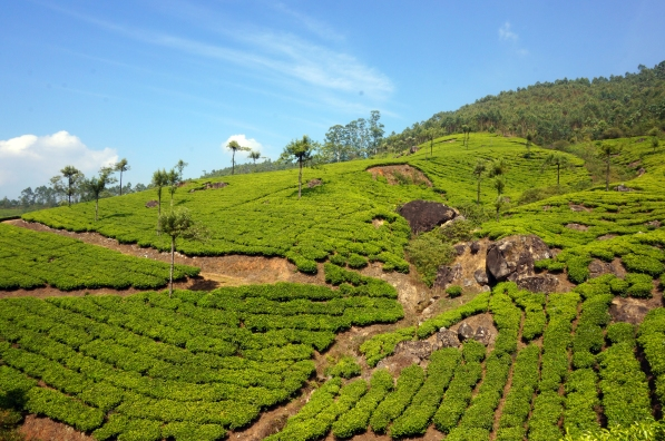 These tea fields...