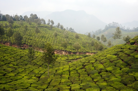 munnar-top-station-tea-fields-01