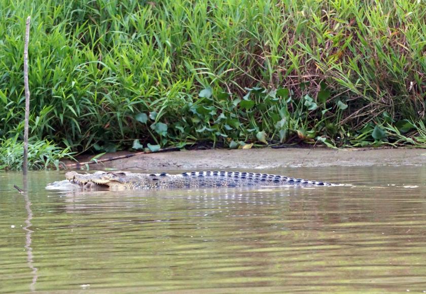 kinabatangan-river-crocodile-02-840