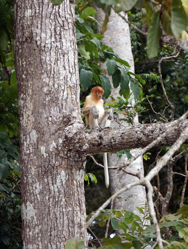 kinabatangan-river-gold-leaf-monkey-01-740