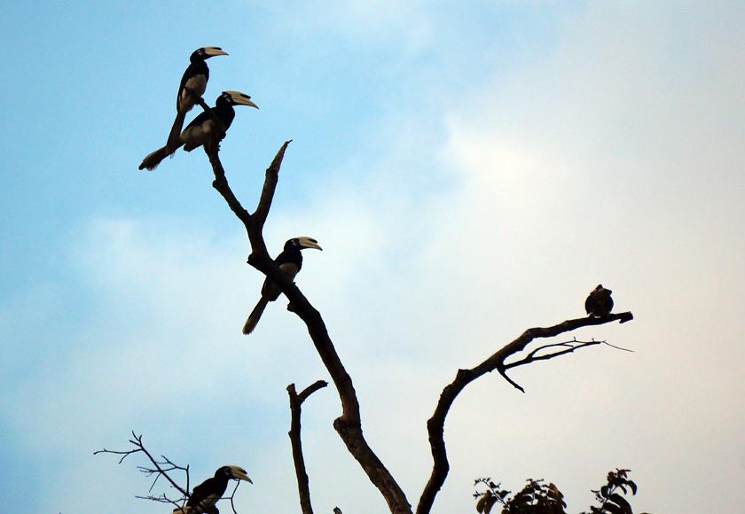 kinabatangan-river-hornbills-01-840
