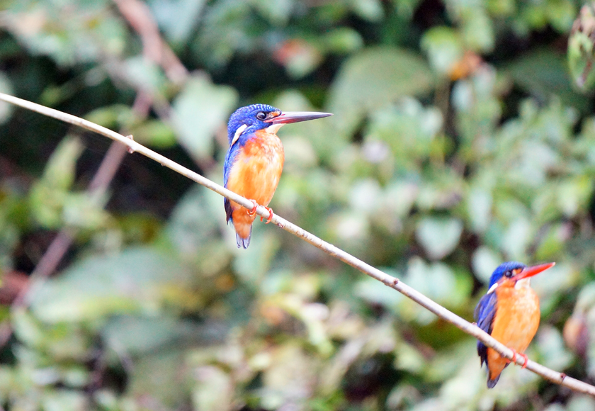 kinabatangan-river-kingfisher-01-840
