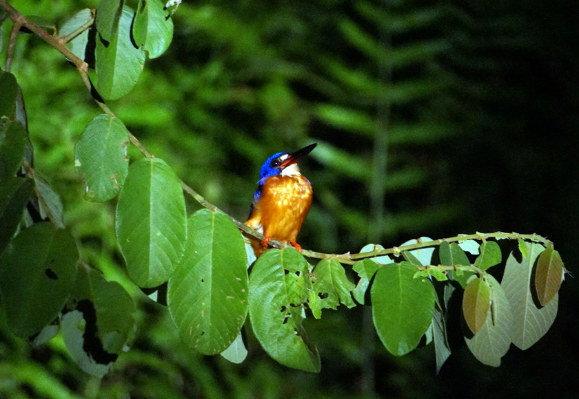 kinabatangan-river-kingfisher-03-840