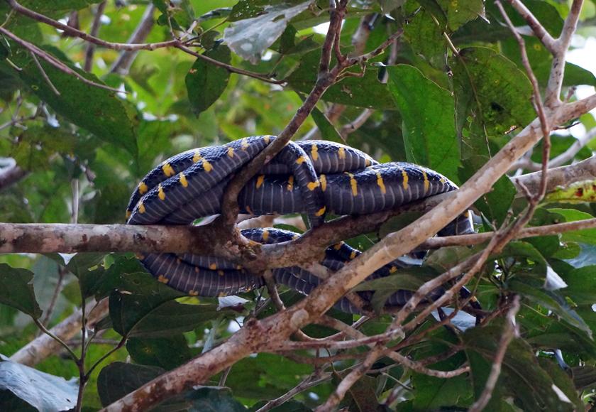 kinabatangan-river-snake-01-840