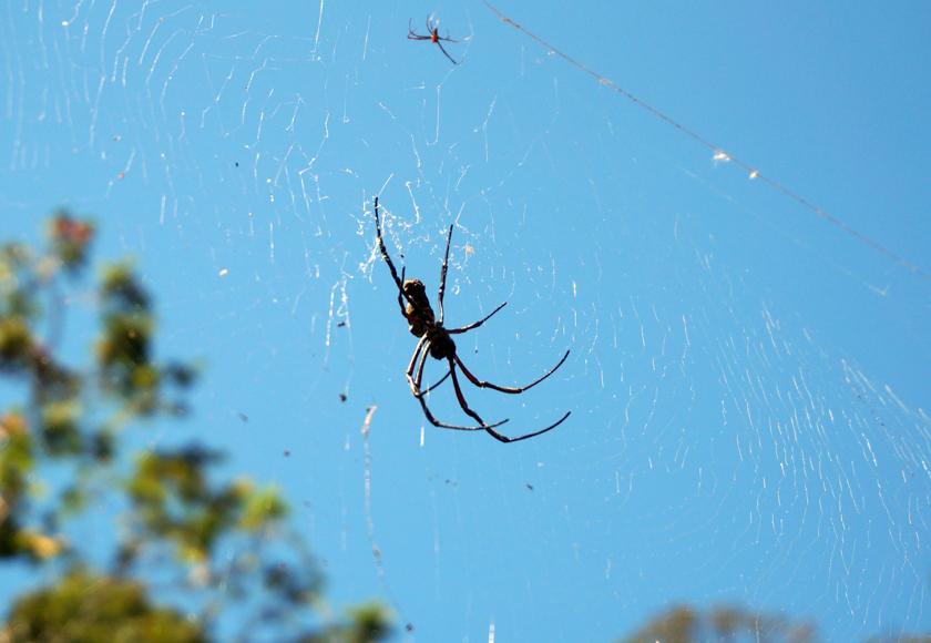 penang-hill-spider-01-740