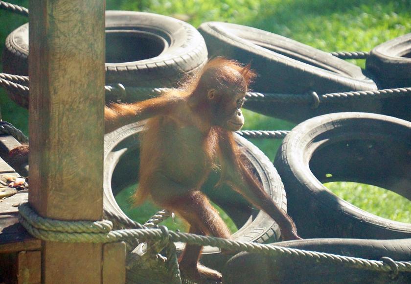 sepilok-baby-orangutan-nursery-01-840