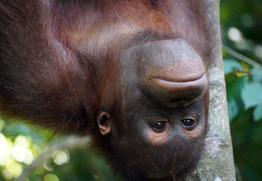 sepilok-orangutan-01-840