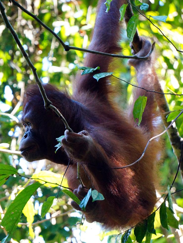 sepilok-orangutan-03-740