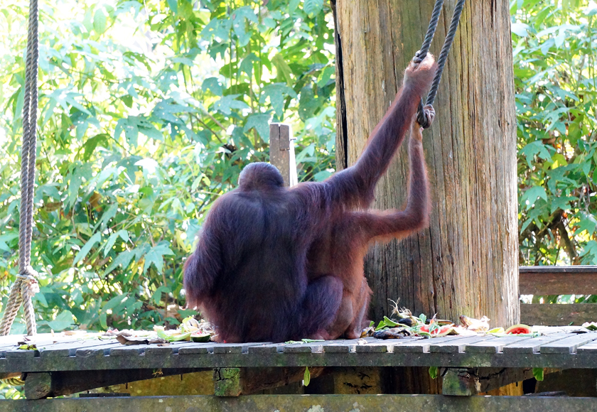 sepilok-orangutan-feeding-platform-01-840