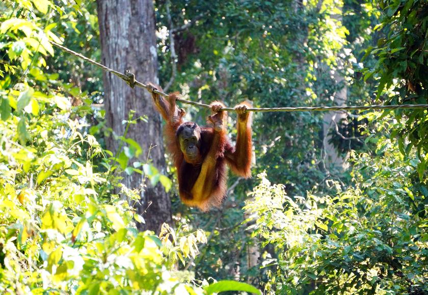 sepilok-orangutan-rope-02-840