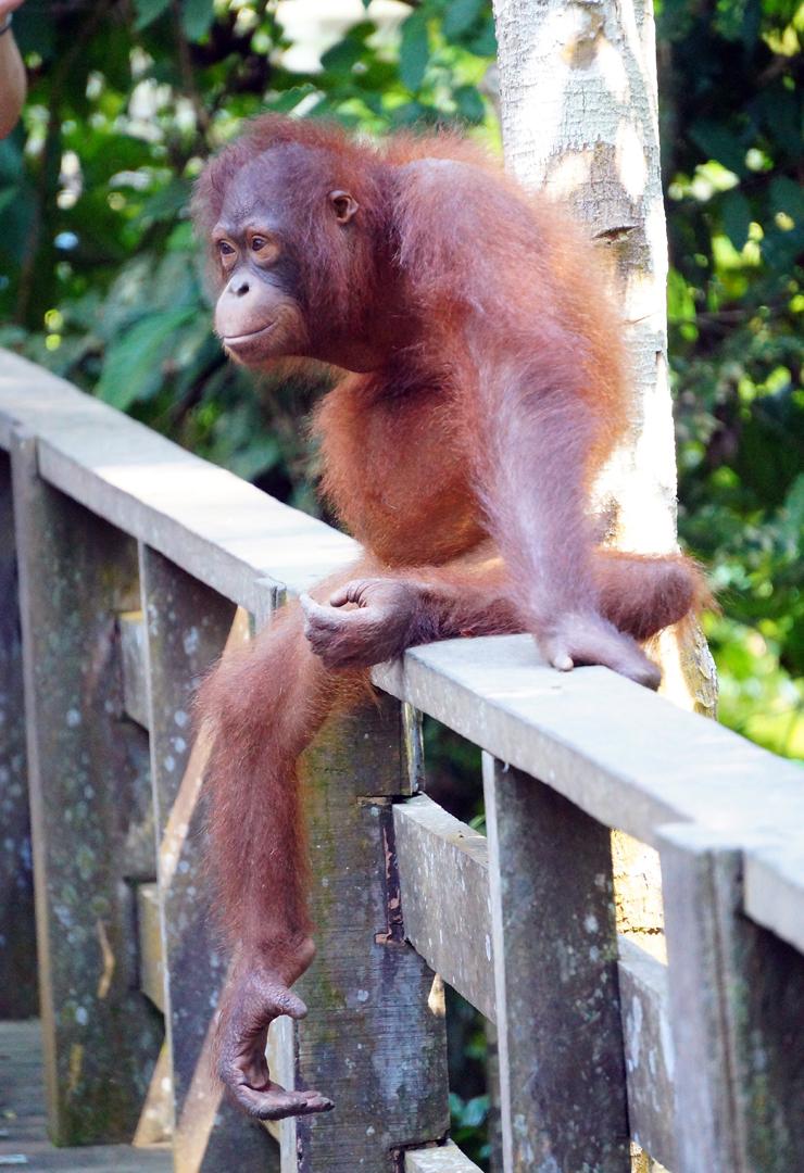 sepilok-orangutan-walkway-01-740