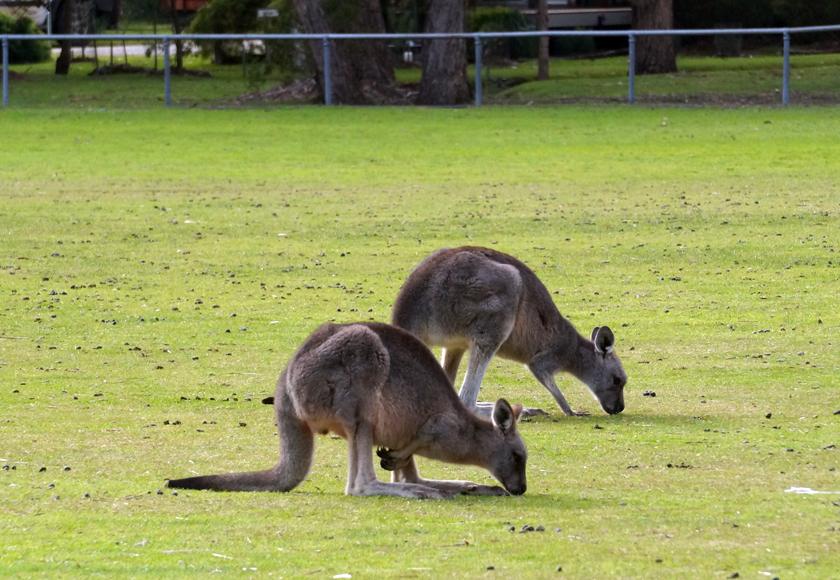 grampians-halls-gap-kangaroos-01-840