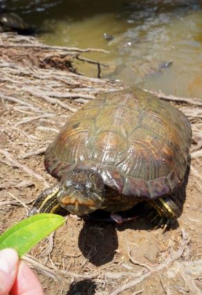 Ubin Turtle