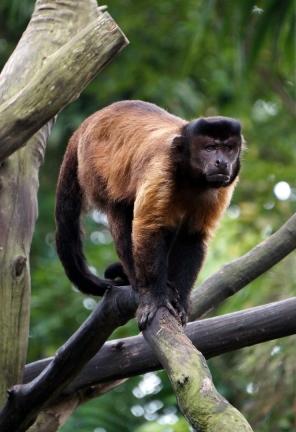 sing-zoo-capuchin-01-740