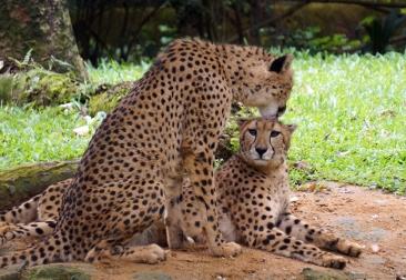 sing-zoo-cheetahs-01-840
