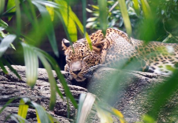 sing-zoo-leopard-01-840