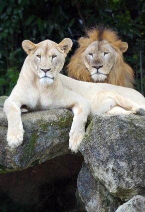 sing-zoo-lions-01-740