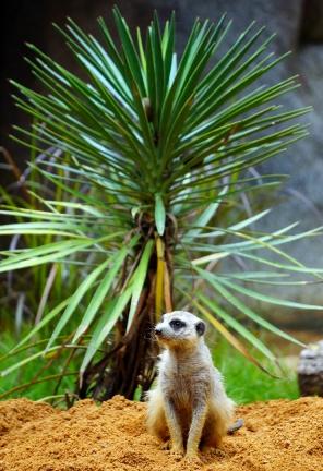 sing-zoo-meercat-01-740