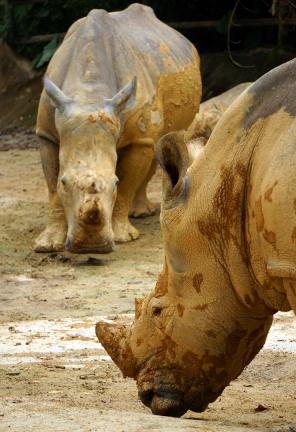 sing-zoo-rhinos-01-740