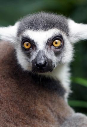 sng-zoo-lemur-01-740