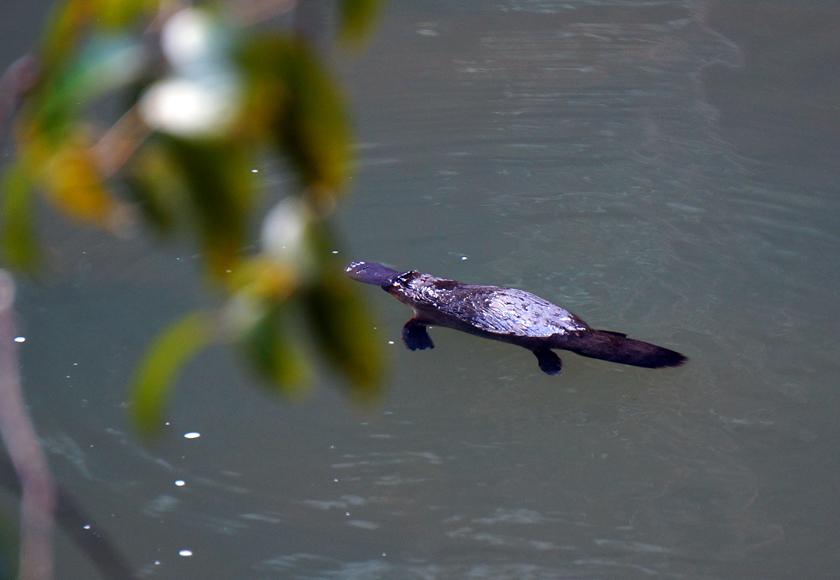 broken-river-platypus-03-840