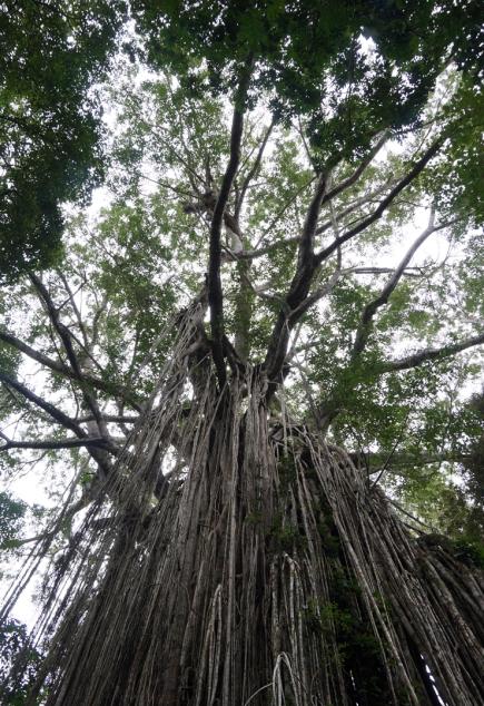 curtain-fig-tree-01-740