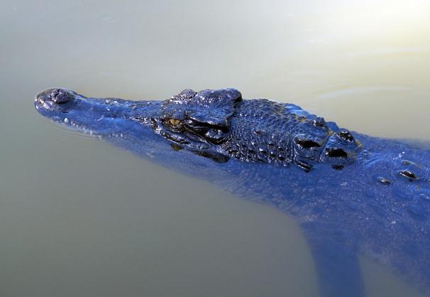 hartleys-croc-02-840