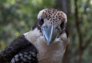 kookaburra-01-840